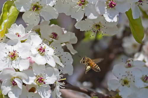 D-56-333 - Bee and apple blossoms