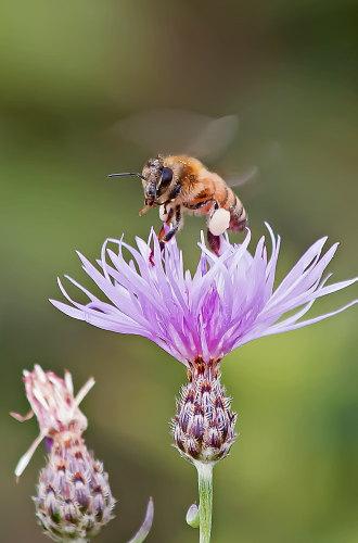 D-56-387 - Honey Bee on a purple wild flower, Bay Port, MI.