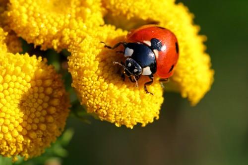 D-56-44 - Ladybug on Tansy. Caseville, MI.