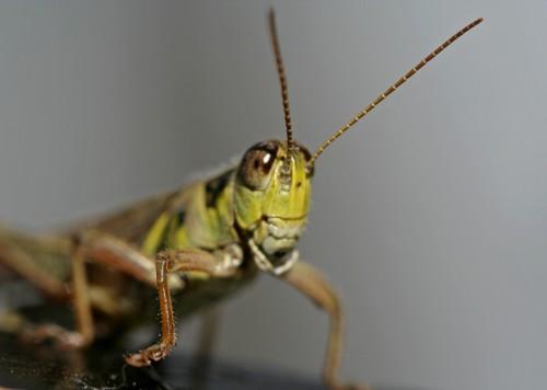 D-56-48 - Grasshopper. Seven Ponds Nature Center. Dryden, MI.