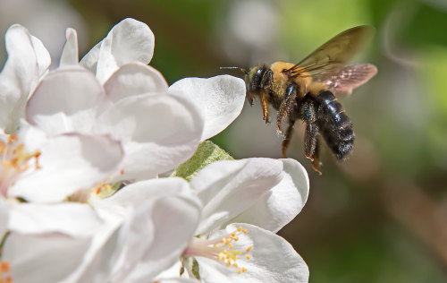 D-56-488 - Bumble bee on apple blossoms
