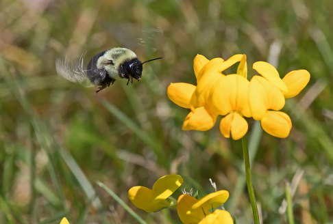 D-56-499 - Bumble bee hovering over flowers