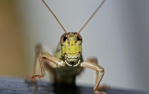 D-56-50 - Grasshopper. Seven Ponds Nature Center. Dryden, MI.