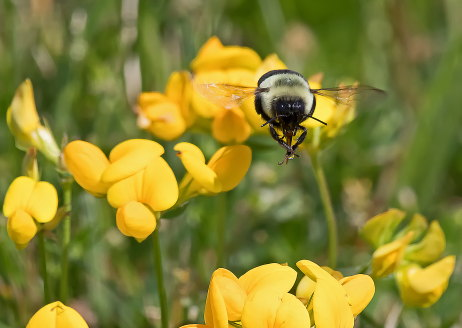 D-56-500 - Bumble bee hovering over flowers.