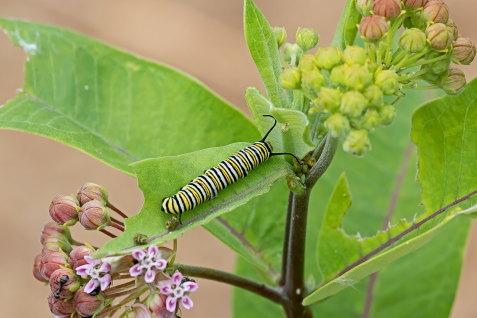 D-56-506 - Monarch Butterfly Caterpillar. Eagle Bay Public Access. Port Austin, MI.