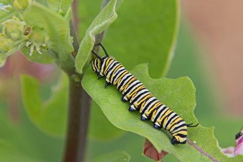 D-56-507 - Monarch Butterfly Caterpillar. Eagle Bay Public Access. Port Austin, MI.