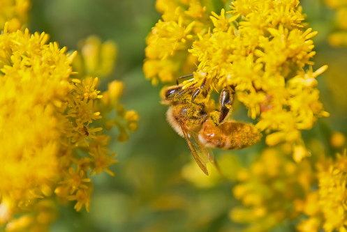 D-56-514 - Honey Bee on Goldenrod. Caseville, MI.
