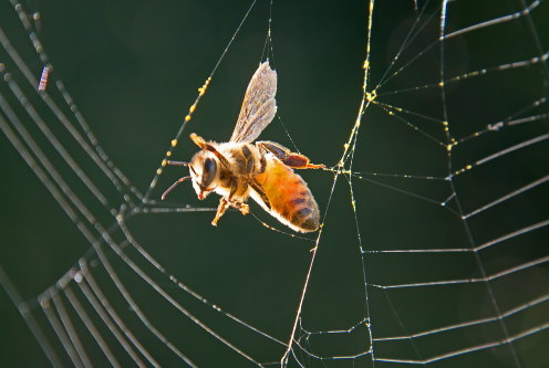 D-56-515 - Honey Bee caught in a spider's web. - A bee gathers pollen on Goldenrod at Mud Creek Public Access, near Bay Port, MI, on a late summer afternoon.