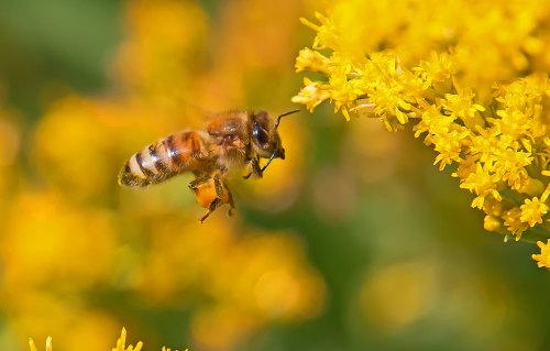 D-56-522 - Honey Bee in flight near Goldenrod. Sumac Island Public Access. Sebewaing, MI.