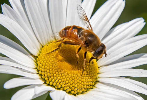 D-56-529 - Hover Fly on a Daisy. Grindstone City, MI.