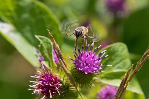 D-56-532 - Honey Bee in flight over a Purple Wildflower. Caseville, MI.