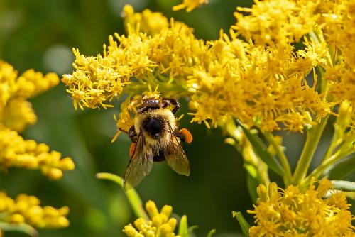D-56-619 - Bumblebee on Goldenrod. Grindstone City, MI.