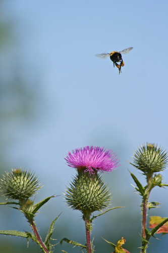 D-56-99 - Bumble Bee hovering over Russian Thistle. Grindstone City, MI.