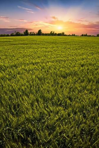 D-2-59 - Wheat field at sunrise. Kinde, MI. Digitally enhanced.