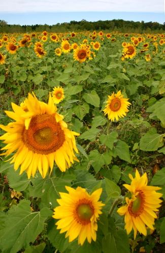 D-21-206 - Sun Flower