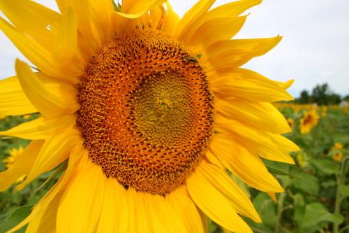 D-21-214 - Sun Flower