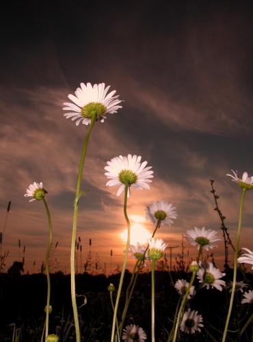 D-21-45 - Wild Daisies at sunrise.