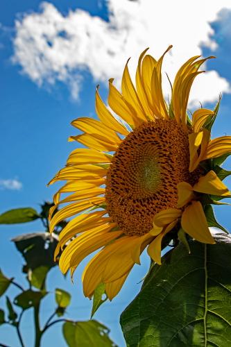 D-21-749 - Sun Flower in a field near Bay Port, MI.