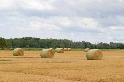 D-2-65 - Rolled Bales in a Harvested Wheat Field. Kinde, MI.