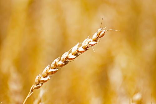 D-2-70 - Stalk of Wheat, Ready for Harvest. Caseville, MI.