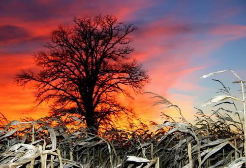 D-3-22 - Rural Sunset. Lone Tree in a Corn Field. Caseville, MI.
